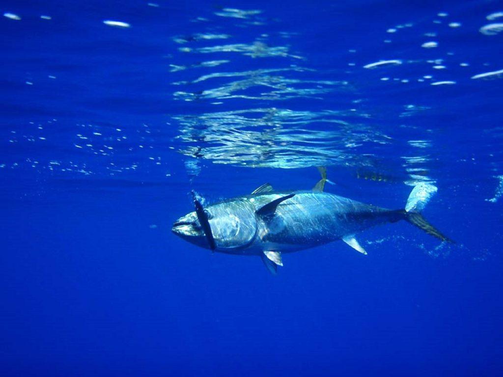 大間の本マグロを食べたい | マグロ漁師がカモメを釣る